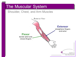 Basic Shoulder Anatomy Anatomy And Physiology Ppt Download