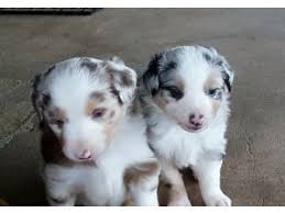south dakota australian shepherd miniature australian shepherd puppies for sale