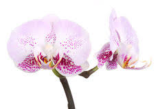 Flower Orchid Orchids Flowers Phalaenopsis Orchid Flower Royalty Free Stock