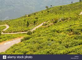 Rock Garden Darjeeling by Darjeeling Tea Garden Stock Photos U0026 Darjeeling Tea Garden Stock