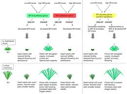 boosting crop yields with plant steroids plant cell