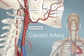 Pictures Of Anatomy Of The Human Body Carotid Artery Human Anatomy Picture Definition Conditions