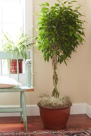 How To Revive A Plant Tips For Caring For Your Ficus Tree Hgtv