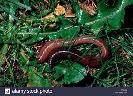 earthworm stock photos u0026 earthworm stock images alamy