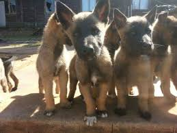 belgian shepherd rescue south africa malinois puppies for sale pretoria tshwane public ads south africa