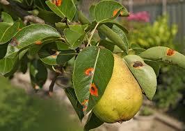 pear tree diseases tips on identification