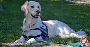 Comfort Pet Certification Therapy Dogs Companion Animals