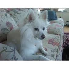 american eskimo dog eating habits ranger is very lively and full of life his favorite thing to do