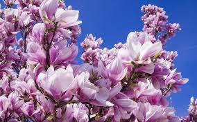 Magnolia Wallpaper Magnolia And Cherry Blossoms Hd Wallpapers 4k