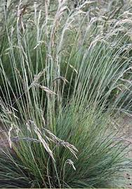 214 best grasses groundcovers images on ornamental