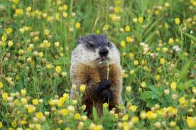 How To Get Rid Of Moles In The Backyard by How To Identify If I Have Moles Or Groundhogs In My Yard Hunker