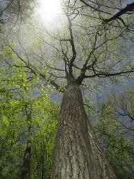 witness tree harvard forest