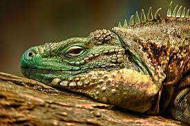 wallpaper iguana reptile lizard flower leaf hd picture image