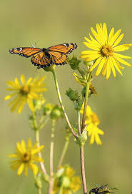 midwest native plants 25 best pollinators and native plants images on pinterest native