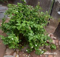Fragrant Container Plants - overgrown container plants get a much needed haircut ramblings