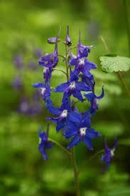 beautiful spring blue wildflowers flowers free nature pictures
