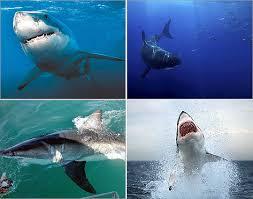 Great White Shark Attack Cape Cod - shark attacks sightings around the world boston com