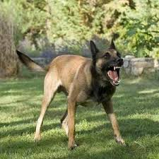 belgian shepherd or malinois belgian malinois dog complete breed profile
