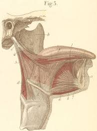 Right Side Human Anatomy Muscles Of The Tongue Seen From The Right Side Anatoref