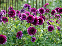choosing purple flowers and plants for the garden hgtv
