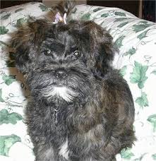 affenpinscher with underbite shih poo dog breed information and pictures