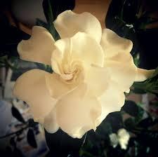 gardenia flower gardenia flower facts flower pressflower press
