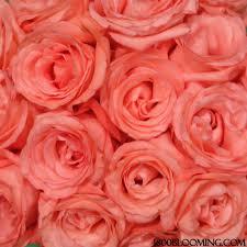 bulk roses bulk roses coral 1 800 blooming