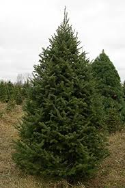 balsam tree 50 balsam fir tree seeds abies balsamea cooks blue