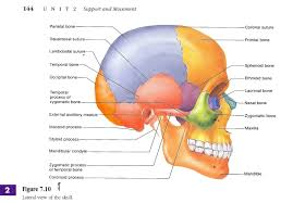 anatomy of skull images learn human anatomy image