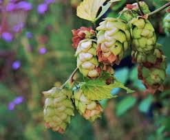 hops flowering plants u2013 learn about growing hops plants in the garden
