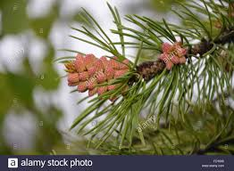 up of pine tree needles and baby pine cones stock photo