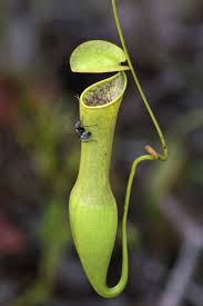a wily trap even for a pitcher plant the new york times