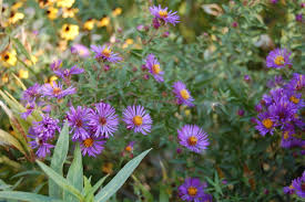 new york native plants an astonishing variety of mostly wild asters u2013 gardeninacity
