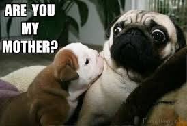 Funny Pug Memes - 100 hilarious pug memes pictures