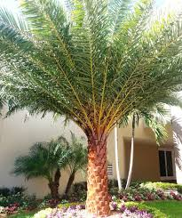 sylvester palm tree sale no worries property maintenance sylvester palm