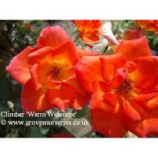 warm welcome patio climbing rose groves nurseries
