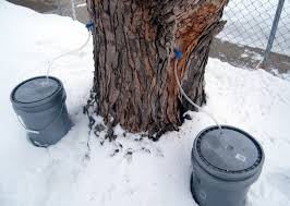 Backyard Sugaring How To Make Maple Syrup In Your Own Backyard Part 1 Tapping A Tree