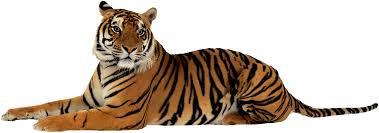 tiger images on wallpaperget com