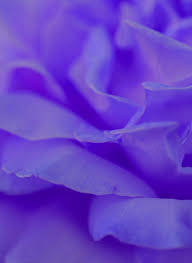file free purple rose love me tender love me true creative