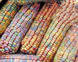farm show pastel colored ornamental corn
