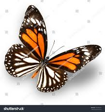 white tiger butterfly isolate on white stock photo 186766610