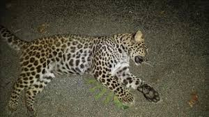 Indiana wild animals images Leopard shot killed by indiana man did not belong to wildlife jpg
