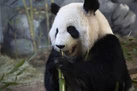 affenpinscher animal planet animal planet panda cam u2013 giant panda facts animal planet l ve