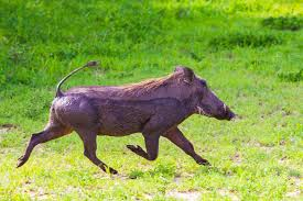 Florida Wildlife images Wildlife officials captured an african warthog wandering through a jpg