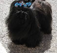 affenpinscher with underbite chinese imperial dog breed information and pictures