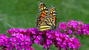butterfly gardens growing