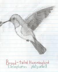 broad tailed hummingbird by codyvburkett on deviantart