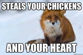Meme Fox - steals your chickens and your heart ridiculously photogenic fox