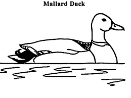 mallard duck coloring pages color luna