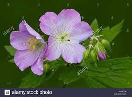canada flowers geranium maculatum flowers and flower buds eastern